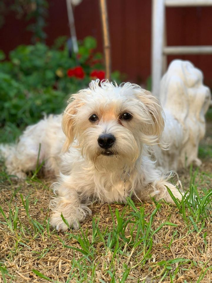 Max, an adopted Maltese & Poodle Mix in Santa Monica, CA_image-2