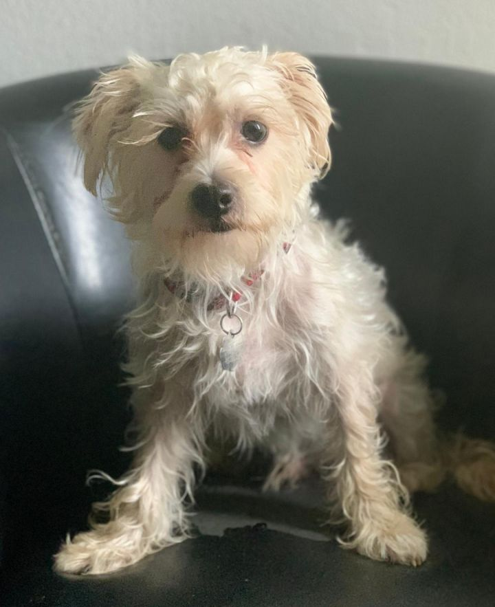 Max, an adopted Maltese & Poodle Mix in Santa Monica, CA_image-3