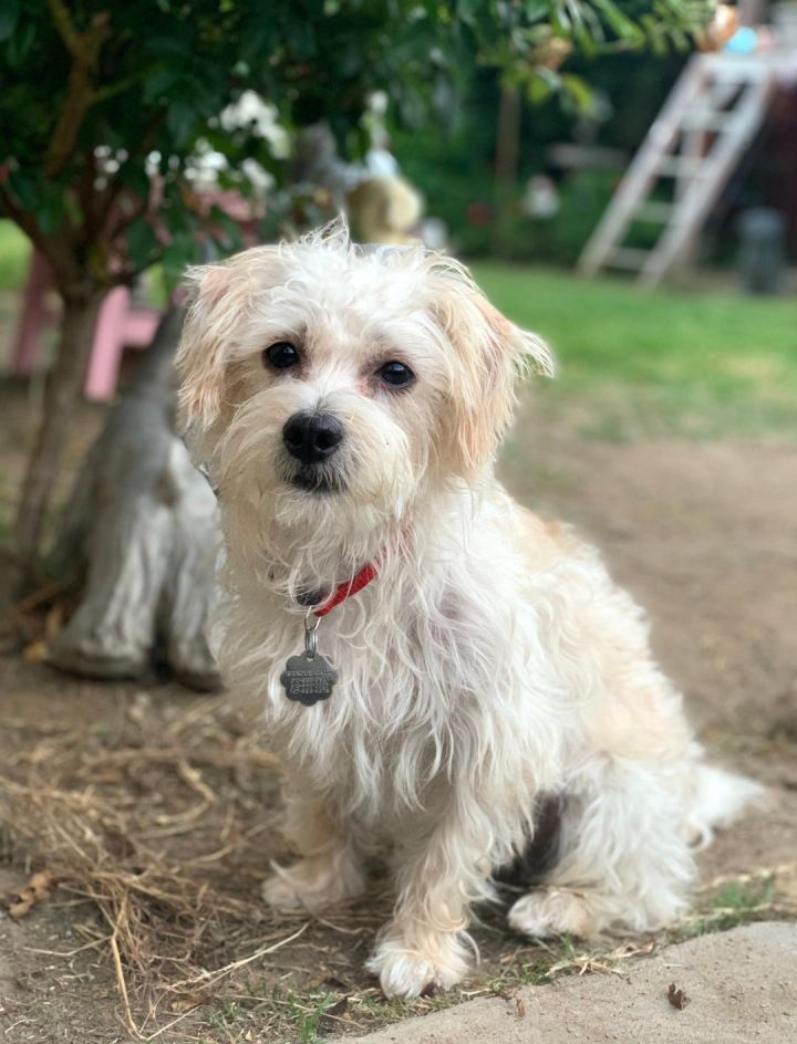 Max, an adopted Maltese & Poodle Mix in Santa Monica, CA_image-4