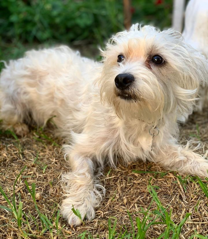 Max, an adopted Maltese & Poodle Mix in Santa Monica, CA_image-5