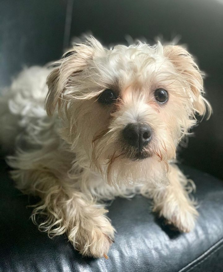 Max, an adopted Maltese & Poodle Mix in Santa Monica, CA_image-6