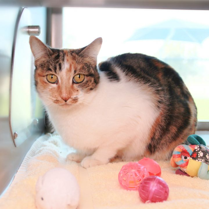 Kelsi, an adoptable Domestic Short Hair Mix in Clovis, CA