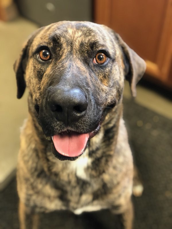 Forest, an adoptable Mastiff Mix in Highland, IN