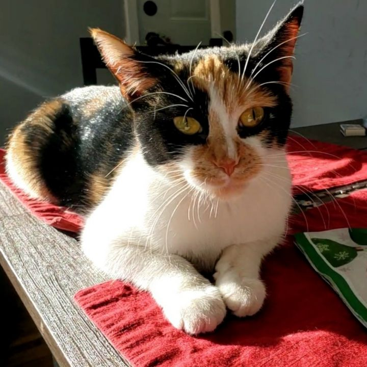 Yuuki, an adopted Domestic Short Hair & Calico Mix in Minneapolis, MN