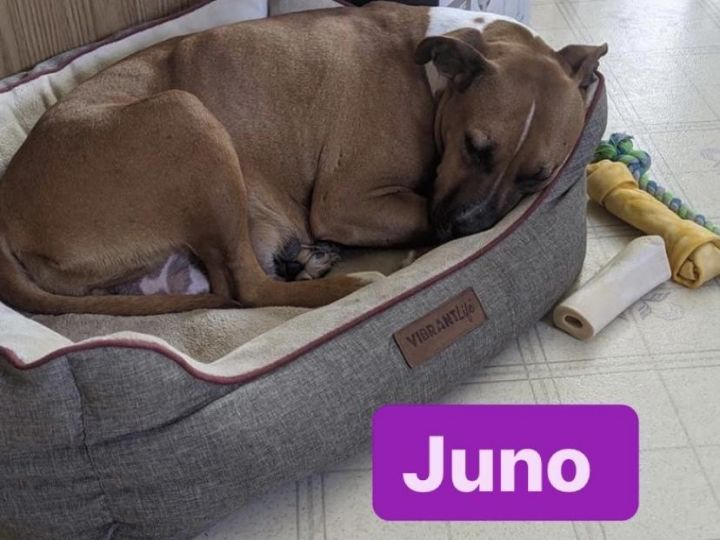 Juno, an adoptable Mixed Breed in Minot, ND