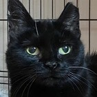 Pugsley Domestic Short Hair Cat