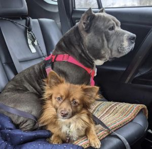 Bentley age 5 and Hondo age 2 are a bonded pair whose NC owner sadly had to