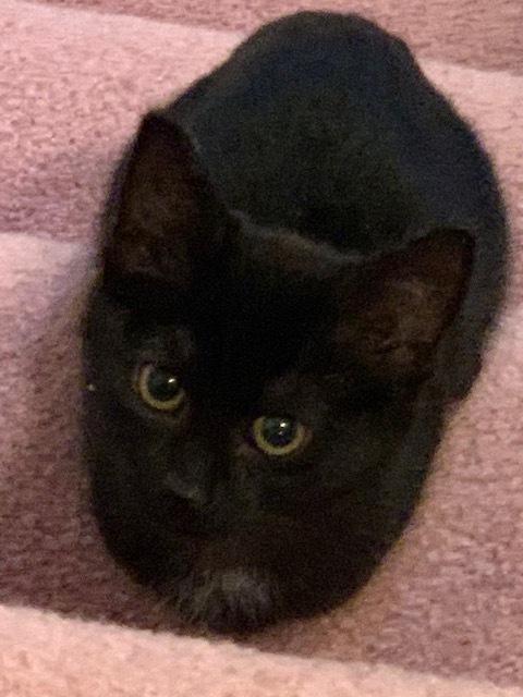 Black Kitten 1