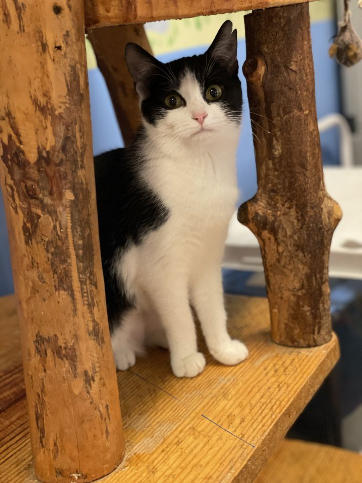 Daphne, an adopted Domestic Short Hair & Tuxedo Mix in Manalapan, NJ