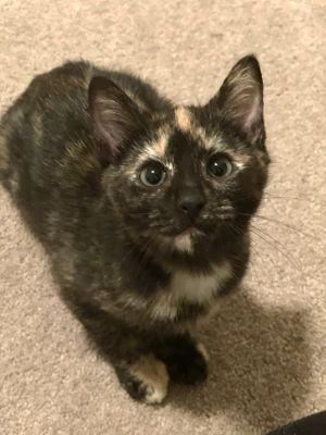 Timmy - ATL Domestic Short Hair Cat