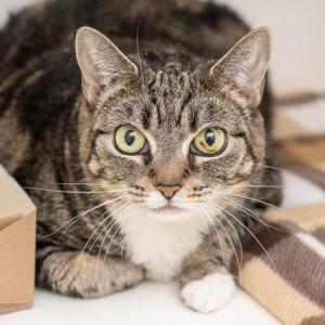 Starr Domestic Short Hair Cat