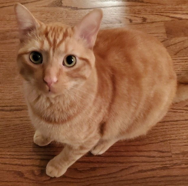 Oren, an adopted Domestic Short Hair Mix in Chicago, IL