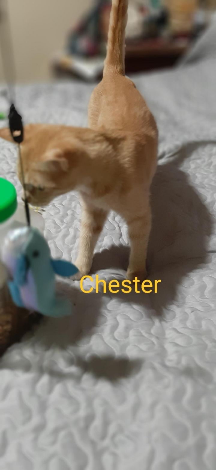 Chester (kp), an adopted Domestic Short Hair Mix in Manchester, CT