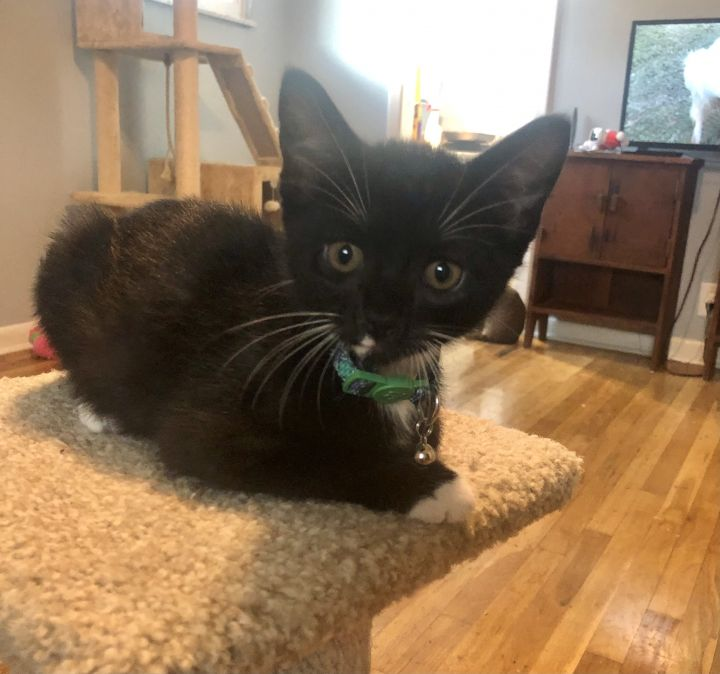 Socks, an adoptable Tuxedo Mix in Cantonment, FL