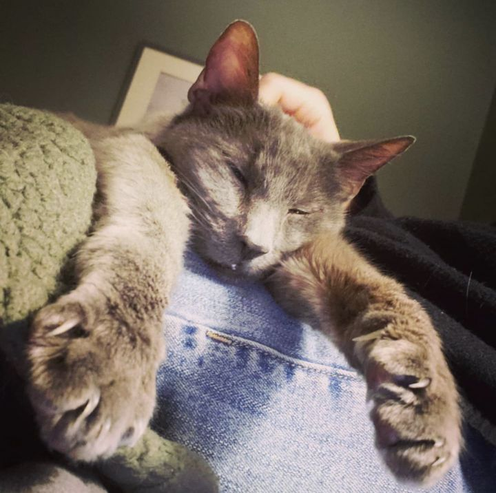 PHIL!, an adoptable Domestic Short Hair in Philadelphia, PA