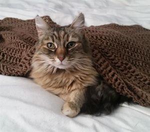 BAYLEE Domestic Long Hair Cat