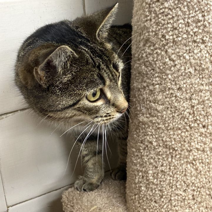 CORNBREAD, an adopted Domestic Short Hair & Tabby Mix in Tinton Falls, NJ