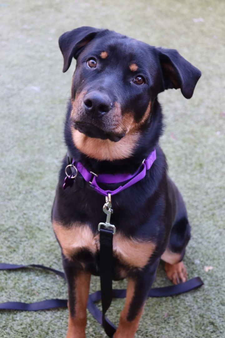 Chula, an adopted Rottweiler Mix in Springfield, MO