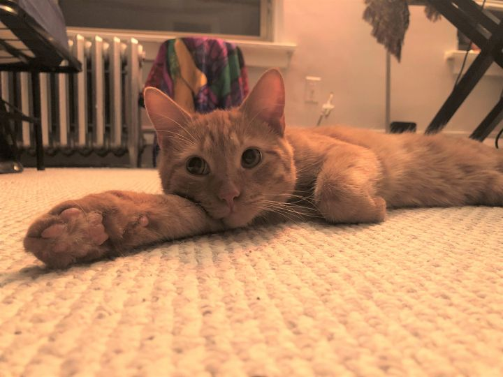 Magoo, an adopted Domestic Short Hair Mix in Chicago, IL