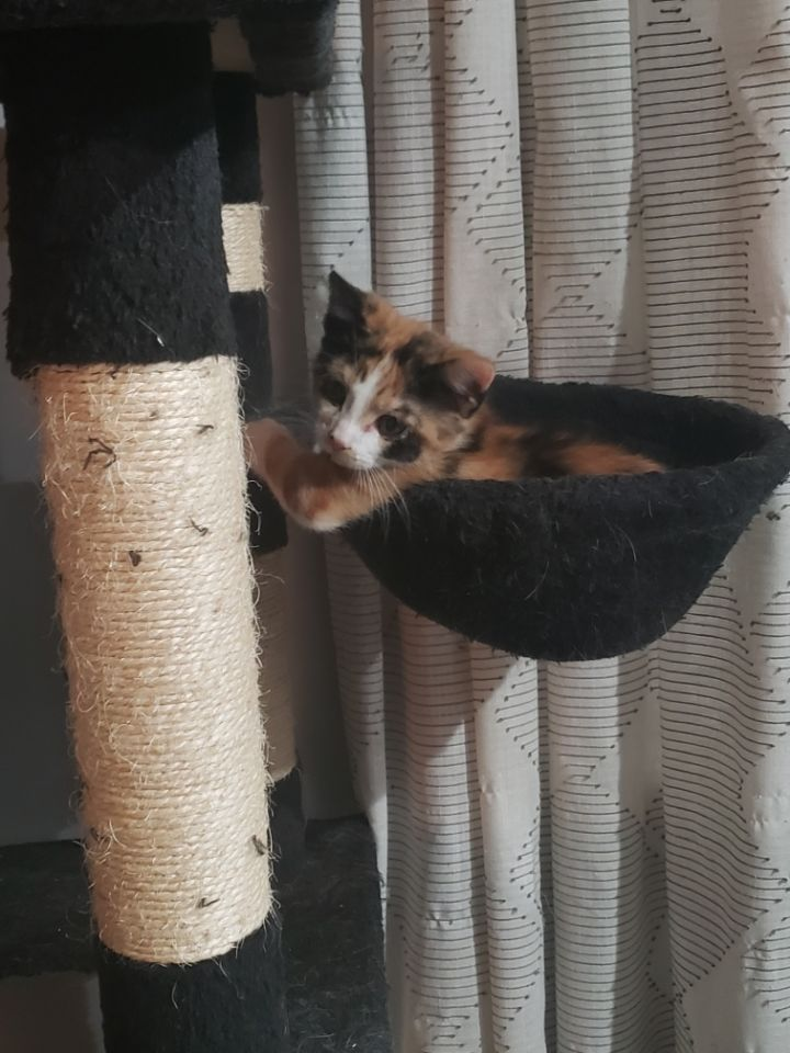 Peaches, an adopted Domestic Short Hair in Fayetteville, NC