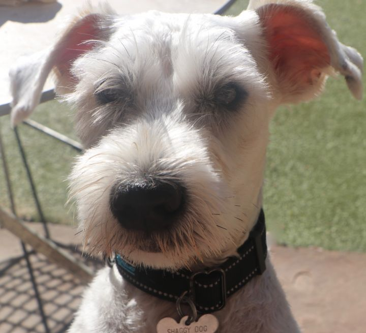 Comet, an adopted Schnauzer Mix in Norwalk, CT