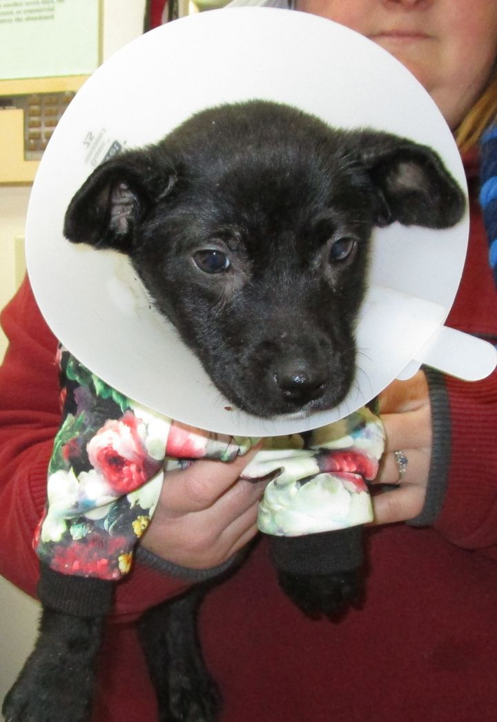 Andi, an adopted Labrador Retriever Mix in Clear Lake, IA