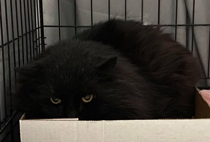 Coal, an adopted Domestic Long Hair in Westfield, MA