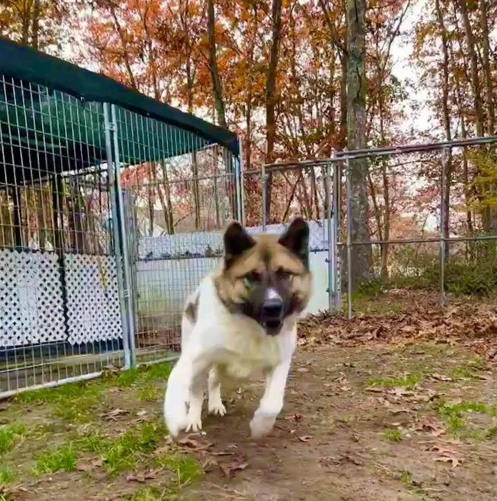 Gage, an adoptable Akita in Toms River, NJ