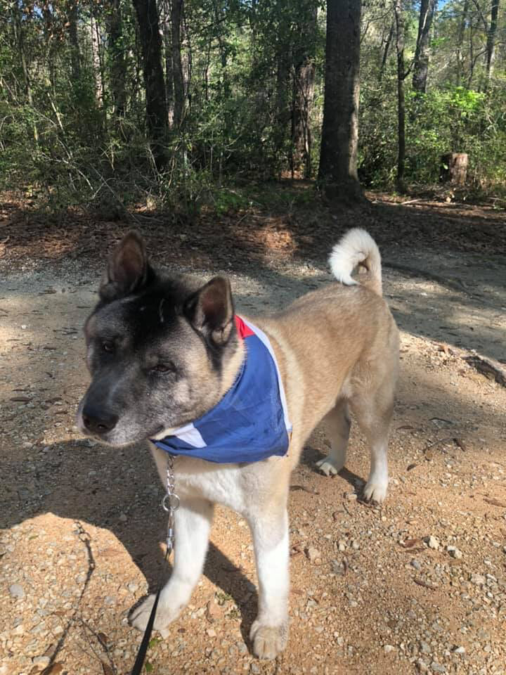 Woody, an adoptable Akita in Toms River, NJ
