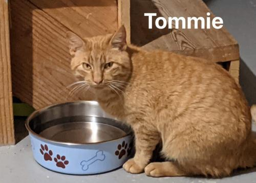 Tommie, an adopted Tabby Mix in Ridgefield, CT