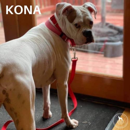 Kona, an adopted Boxer in Battle Ground, WA