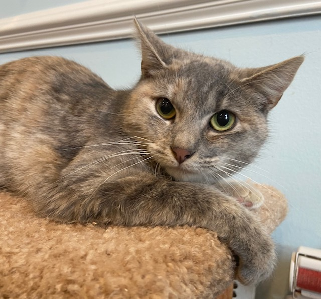 Rose, an adopted Domestic Short Hair & Dilute Tortoiseshell Mix in Breinigsville, PA