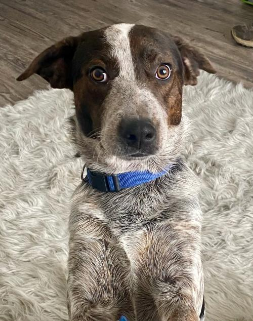Falcon, an adoptable German Shorthaired Pointer & Australian Cattle Dog / Blue Heeler Mix in Norwood, OH