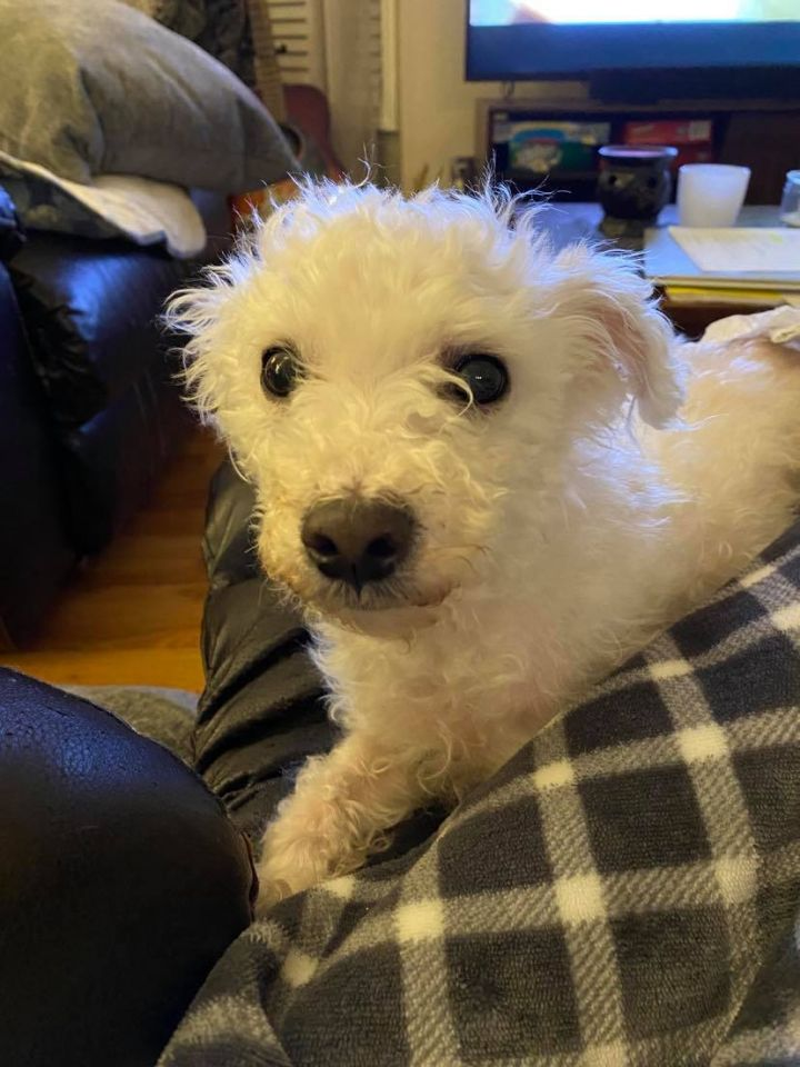 Annie, an adopted Maltipoo Mix in Duluth, GA