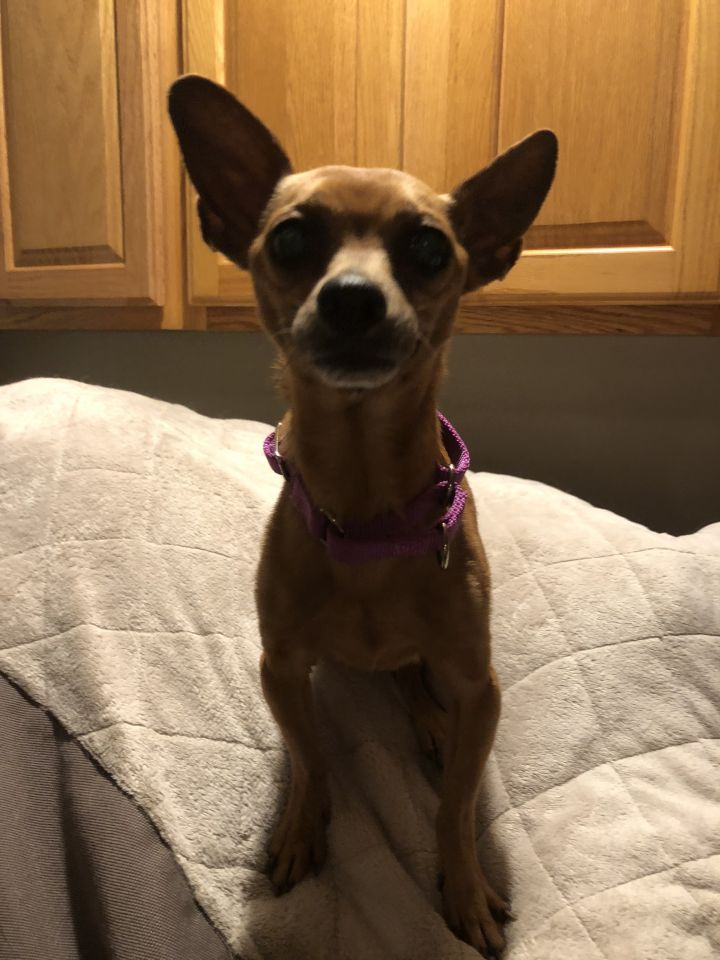 Fancy Bartender, ADOPTION PENDING! :), an adopted Chihuahua Mix in Armada, MI