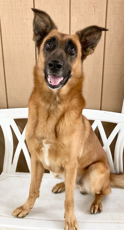 Toffee, an adoptable Belgian Shepherd / Malinois Mix in Canoga Park, CA