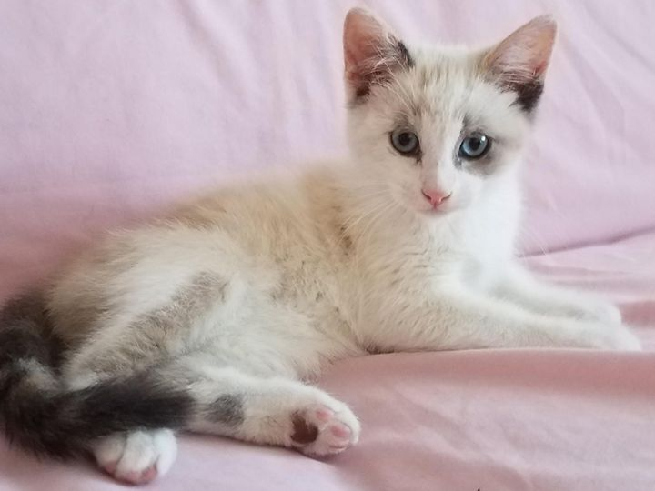 Opal, an adopted Siamese Mix in Pacific Palisades, CA