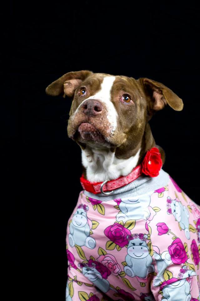 Gertrude, an adoptable Pit Bull Terrier Mix in Eagle, ID