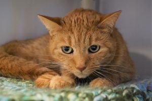 Winnifredo Domestic Short Hair Cat