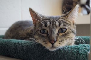 Balsam is a neutered male brown tabby who we estimate to be just a little over a year old He