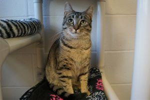 Balsam Domestic Short Hair Cat