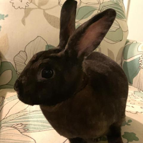 Jace, an adoptable Mini Rex in Berlin, MD