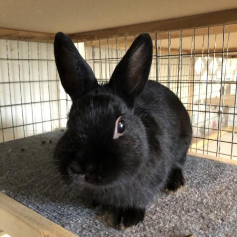 Onyx, an adoptable Satin in Rock Hall, MD