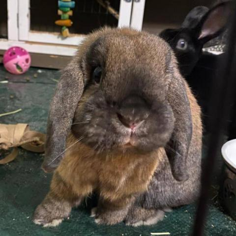 Nutters & Marshmellow, an adoptable Holland Lop in Salisbury, MD