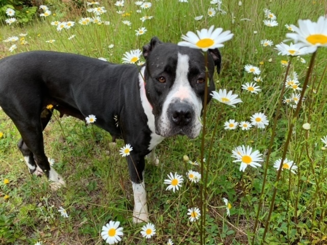 Daisy - Sweet Girl Needs a Foster or Adopter!