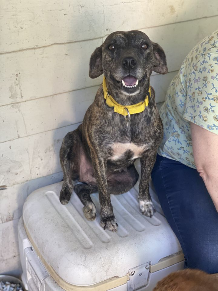 Mindy, an adoptable Plott Hound Mix in Matawan, NJ