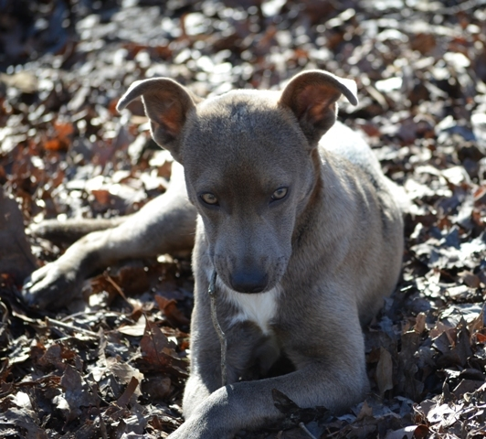 Misty, an adopted Weimaraner Mix in Allentown, PA