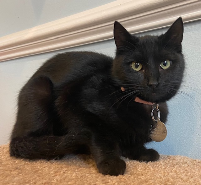 Harley, an adopted Domestic Short Hair in Breinigsville, PA