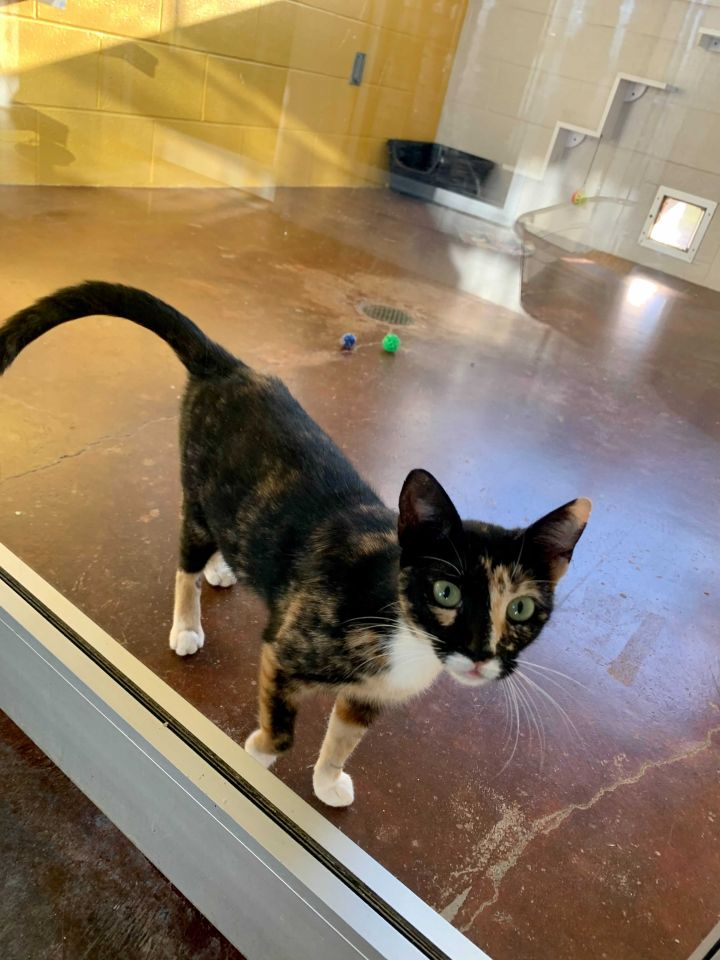 Lassie, an adopted Domestic Short Hair Mix in Carencro, LA