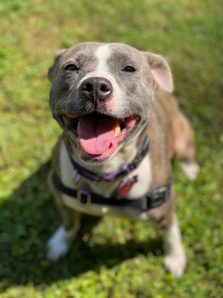 Sassy, an adoptable American Staffordshire Terrier in Highlands, NJ